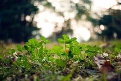 Bujny zielony dywan koniczyny zakończenie up obraz stock