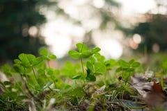 Bujny zielony dywan koniczyny zakończenie up Zdjęcie Stock