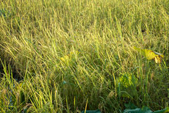 Bujny zielony irlandczyk w ryżu polu Wiosna Obraz Royalty Free