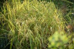Bujny zielony irlandczyk w ryżu polu Wiosna Obrazy Royalty Free