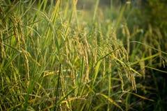 Bujny zielony irlandczyk w ryżu polu Wiosna Fotografia Stock