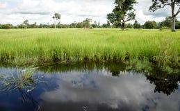 Bujny zielony irlandczyk w ryżu polu Wiosna i Summ Obraz Stock