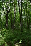 Bujny zielony las w lecie Wysocy drzewa i porośle zdjęcia stock