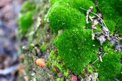 Bujny zielony mech zakrywał kamień Powierzchnia zakrywa z naród mech zdjęcia stock