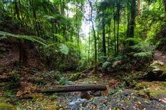 Bujny zielony temperate tropikalny las deszczowy w Australia zdjęcie stock