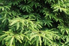 Bujny zielony ulistnienie świerczyna w Czerwu zdjęcie stock