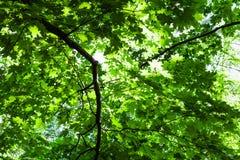 Bujny zielony ulistnienie klonowy drzewo w lesie obraz royalty free