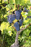 Bujny zielony winnica z dojrzałymi błękitnymi winogronami, Rotweinwanderweg, Zły Neuenahr-Ahrweiler, Niemcy Obraz Royalty Free