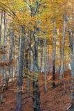 Buków drzewni bagażniki Zdjęcia Royalty Free