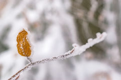 Buków liście na gałąź w zimie Zdjęcia Royalty Free