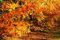 Buków liście w jesieni colour obraz stock