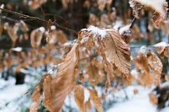 Buków liście w ostrości Obrazy Stock