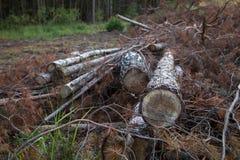 buk lasem jest Bulgaria ciącym zniszczenia puszka notuje halnego pirin Wylesienie, szalunek Drzewa i gałąź ciący puszek obraz stock
