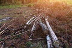 buk lasem jest Bulgaria ciącym zniszczenia puszka notuje halnego pirin Wylesienie, szalunek Ekologia problemu pojęcie zdjęcia royalty free