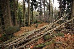 buk uszkadzający drzewo fotografia royalty free