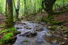 Buk wzdłuż Bianditzko rzeki w lesie Artikutza obraz royalty free