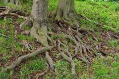 Buk z kilkuramiennymi korzeniami zdjęcia stock