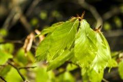 Buk z liśćmi obrazy stock