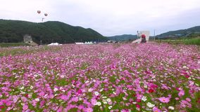 Bukcheon Cosmos and Buckwheat Flower Festival in Hadong, Gyengsangnamdo, South Korea stock video footage