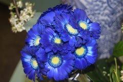 Bukett av blåa gerberablommor Royaltyfri Bild