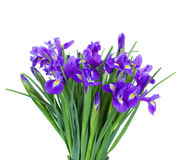 Bukett av blåa iriseblommor royaltyfria foton