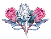 Bukett av blommaproteaen bakgrund isolerad white Royaltyfria Foton