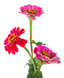 bukett av blommazinniaen Royaltyfria Foton