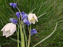 Bukett av de första vårblommorna blått och vit Arkivbilder