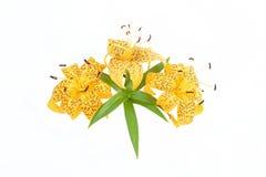 Bukett av den gula liljan på vit bakgrund Arkivfoto