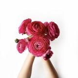 Bukett av den röda ranunculusen eller rosor i flickas händer på vit bakgrund Royaltyfri Bild