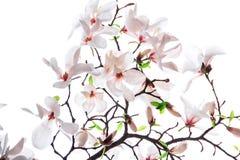 Bukett av den rosa magnoliablomman Royaltyfria Foton