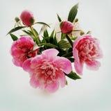 Bukett av den rosa pionen Royaltyfri Foto