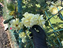 Bukett av gula rosor i en kvinnlig hand p? en vit bakgrund royaltyfri fotografi