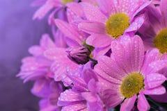 Bukett av lila krysantemum arkivfoton