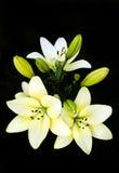 Bukett av liljar Royaltyfri Fotografi