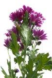 Bukett av ljusa karmosinröda krysantemum Arkivfoto