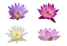 Bukett av Lotus Flower i naturen - lotusblommadamm Royaltyfri Bild
