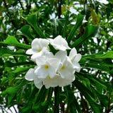 Bukett av naturliga vita blommor Fotografering för Bildbyråer