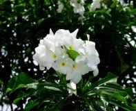 Bukett av naturliga vita blommor Arkivfoton