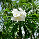Bukett av naturliga vita blommor Arkivbild