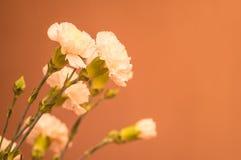 Bukett av nejlikan?rbilden Vita blommor på en pastellfärgad bakgrund kopiera avst?nd slapp fokus Begrepp f?r h?lsningkort arkivfoto