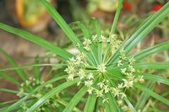 Bukett av papyruset, vattenväxter royaltyfria foton