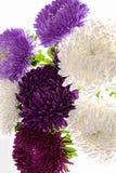 Bukett av purpurfärgade asterblommor som isoleras på vit Royaltyfria Bilder