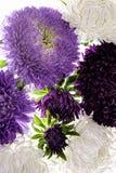 Bukett av purpurfärgade asterblommor som isoleras på vit bakgrund Royaltyfria Foton