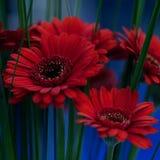 Bukett av röda gerberas Royaltyfri Fotografi