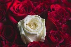 Bukett av röda rosor med en vitros in - between royaltyfri fotografi
