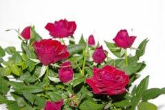 Bukett av röda rosor på vit bakgrund Blommor Bakgrund för lyckönskan royaltyfria bilder