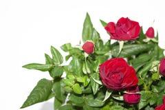 Bukett av röda rosor på vit bakgrund Blommor Bakgrund för lyckönskan royaltyfria foton
