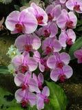 Bukett av rosa orkid?Phalaenopsis p? en bakgrund av sidor i en tropisk tr?dg?rd arkivbilder