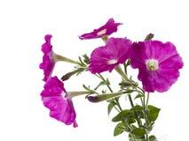 Bukett av rosa petunior Arkivbild